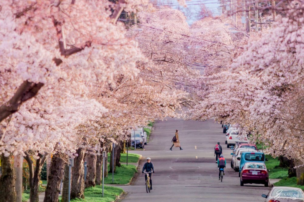 Cherry Blossoms on Moss St.